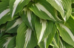 Funkia Night Before Christmas Hosta 1l