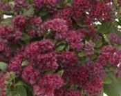 ROZCHODNIK WIELKI SURRENDER RED SEDUM TELEPHIUM 1l