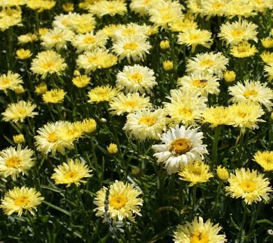 ZŁOCIEŃ WIELKI GOLDFINCH LEUCANTHEMUM MAXIMUM 15